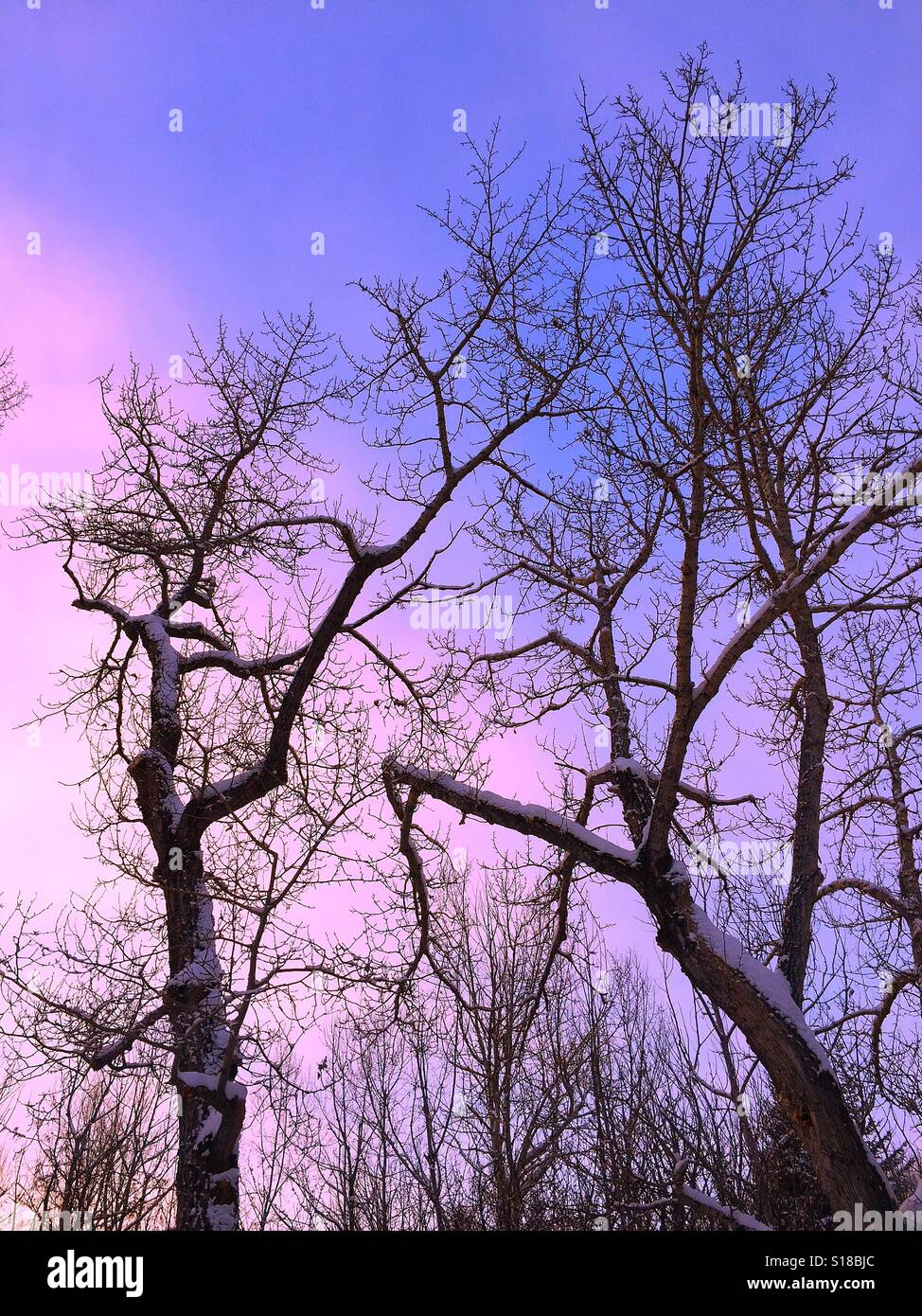 Poplar tree after a snow fall Stock Photo
