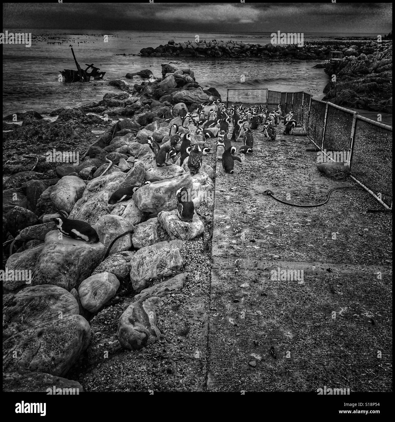 Stoney Point penguin breeding colony. - Stock Image