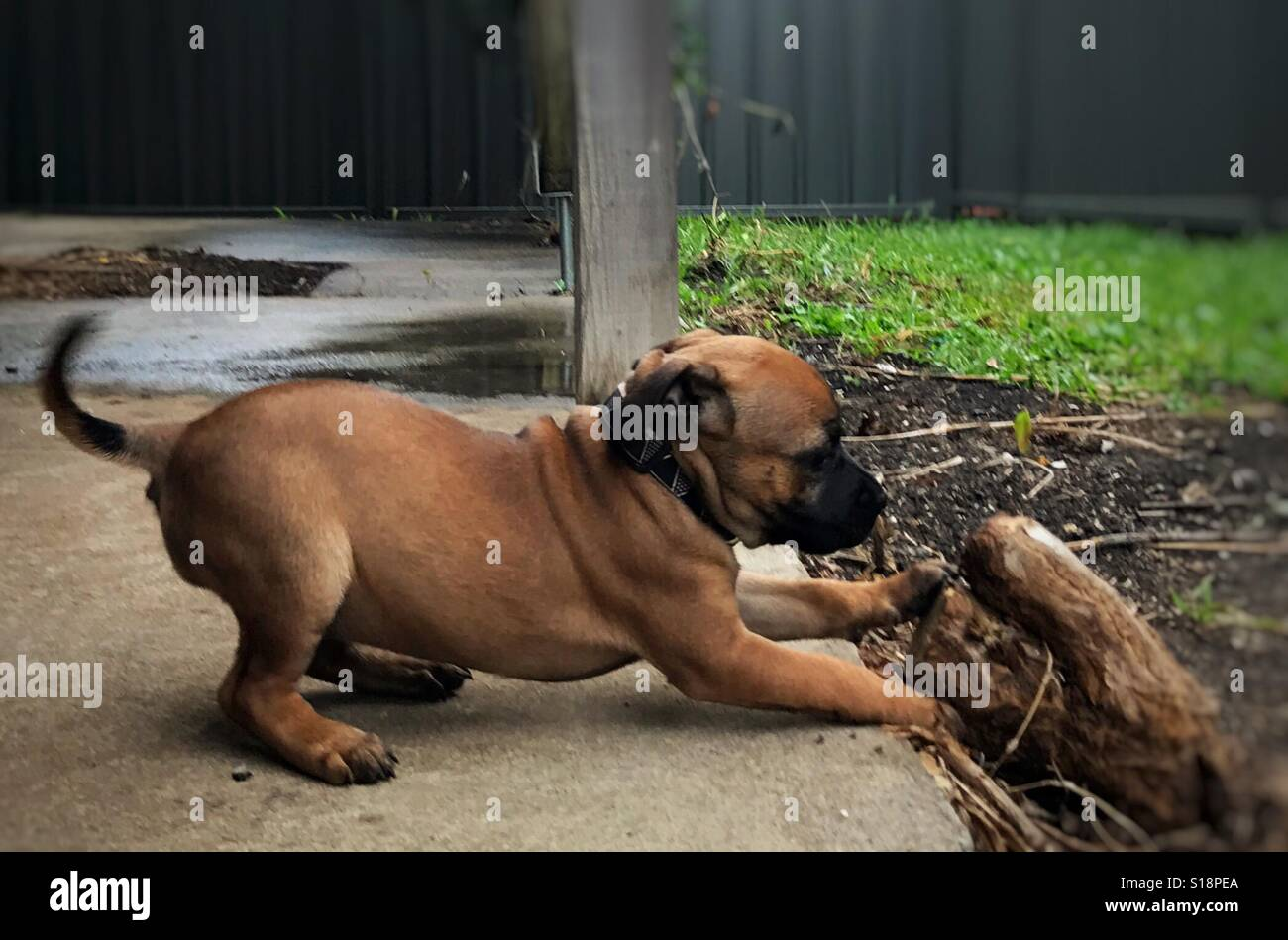 Staffordshire puppy playing - Stock Image