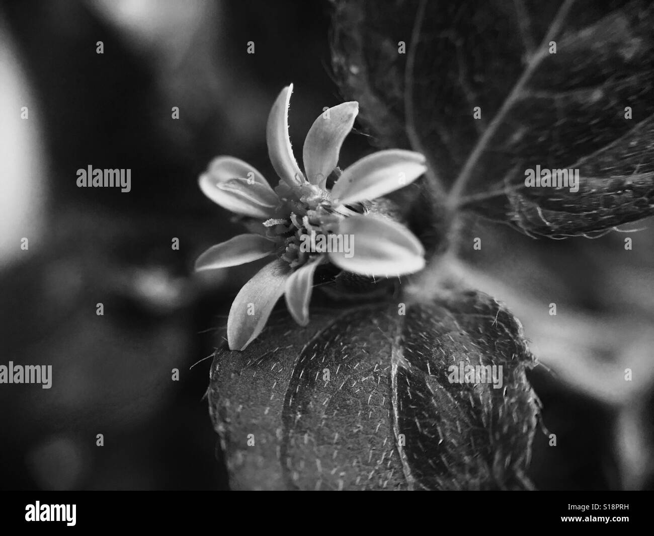 Black and White Miniscule Flower - Stock Image