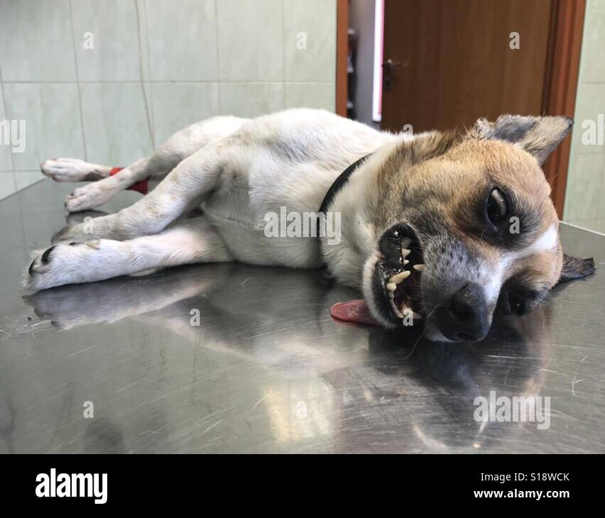 dog under anesthesia in veterinary office - Stock Image