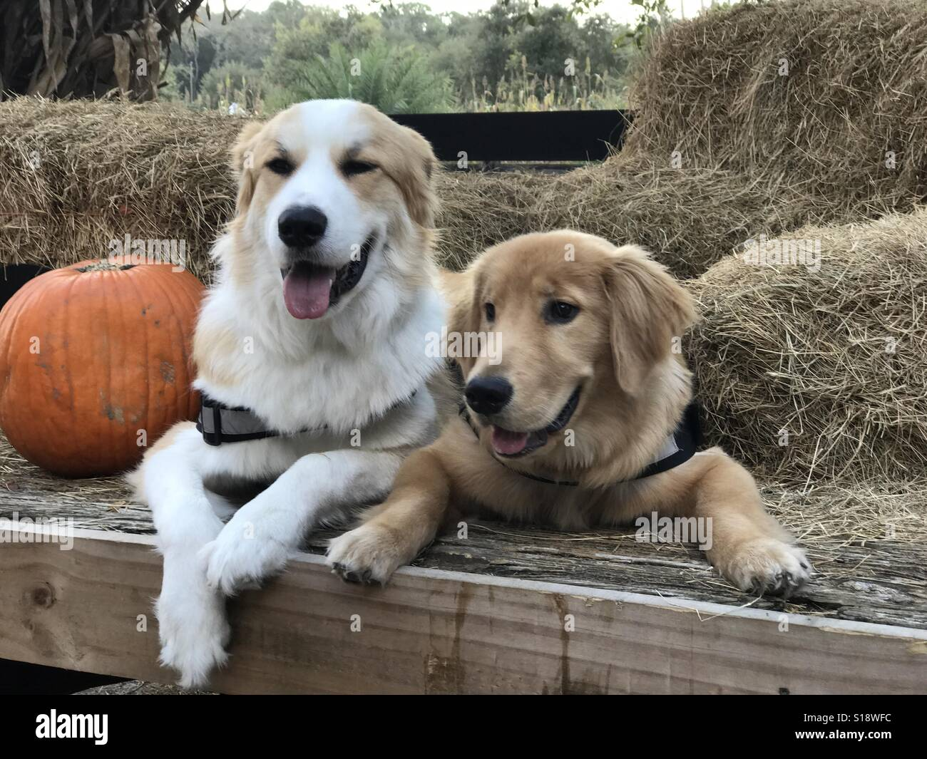Dogs sitting next to hay. - Stock Image
