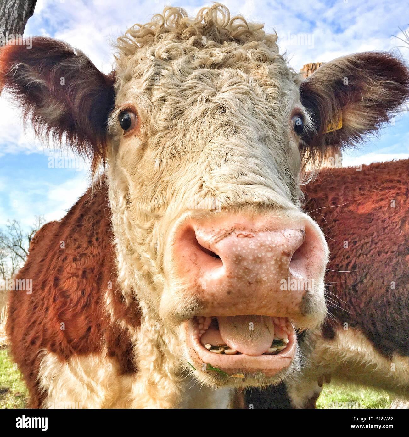 Happy cow - Stock Image