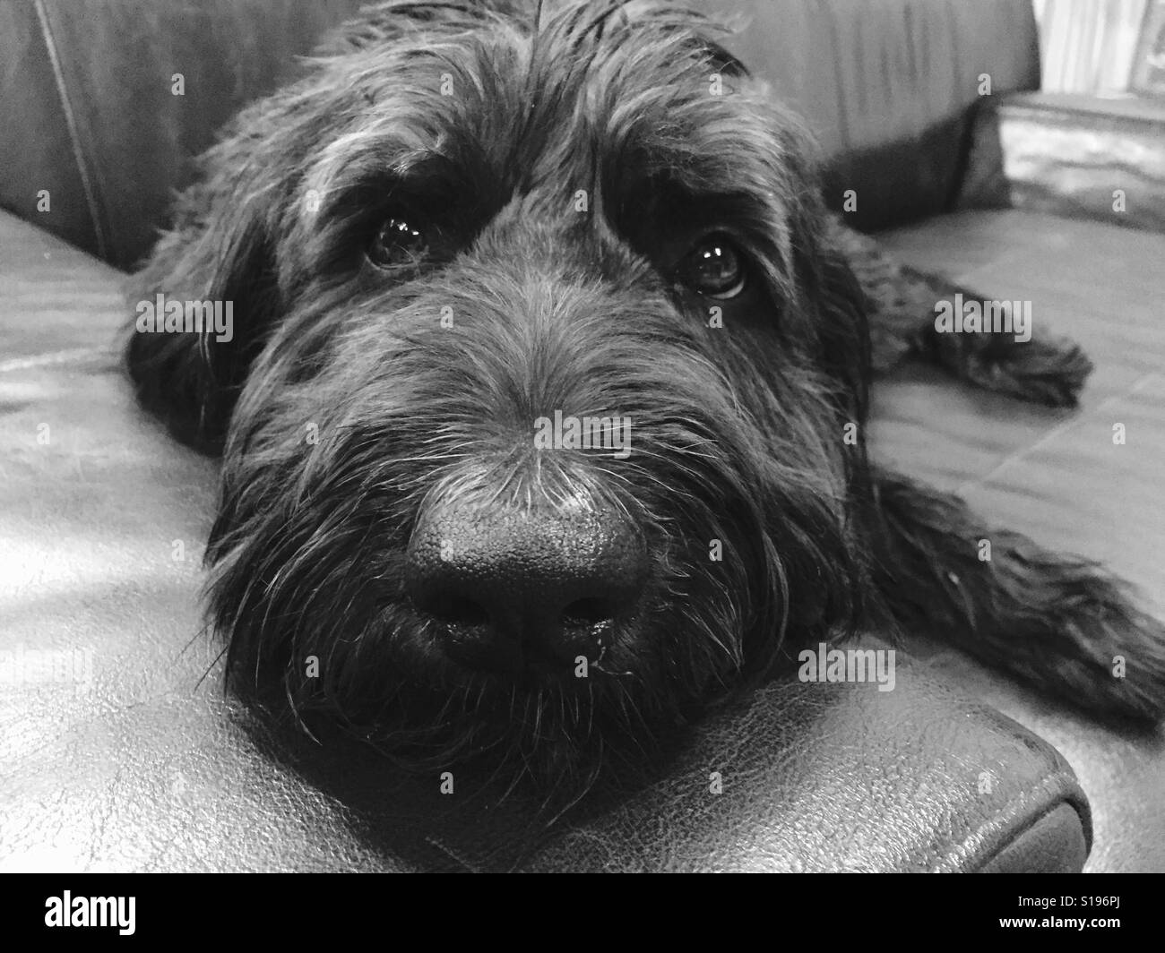 A black labradoodle dog laying on a couch. - Stock Image