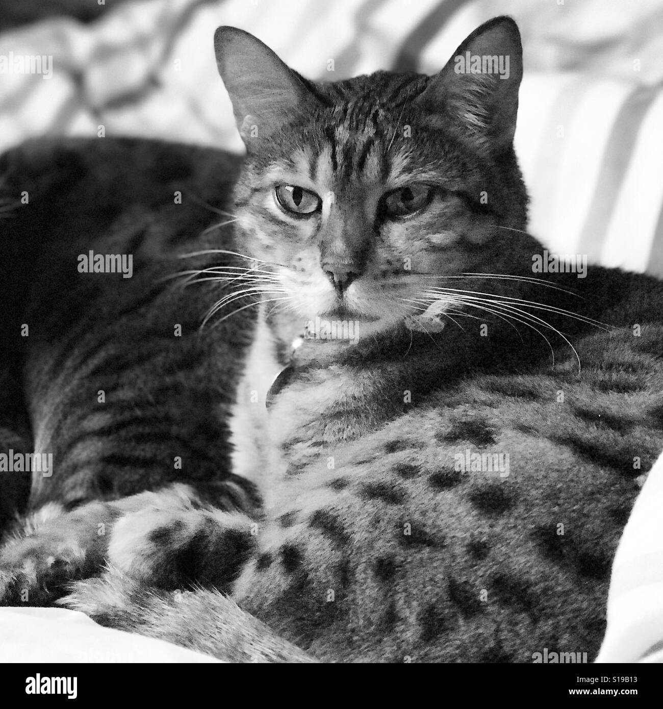 A pedigree Bengal cat - Stock Image