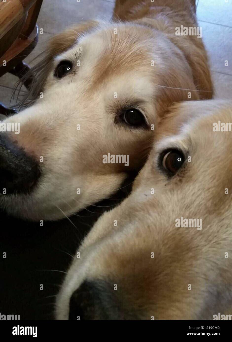 Two Cute Golden Retriever Dogs With Pleading Eyes Stock Photo