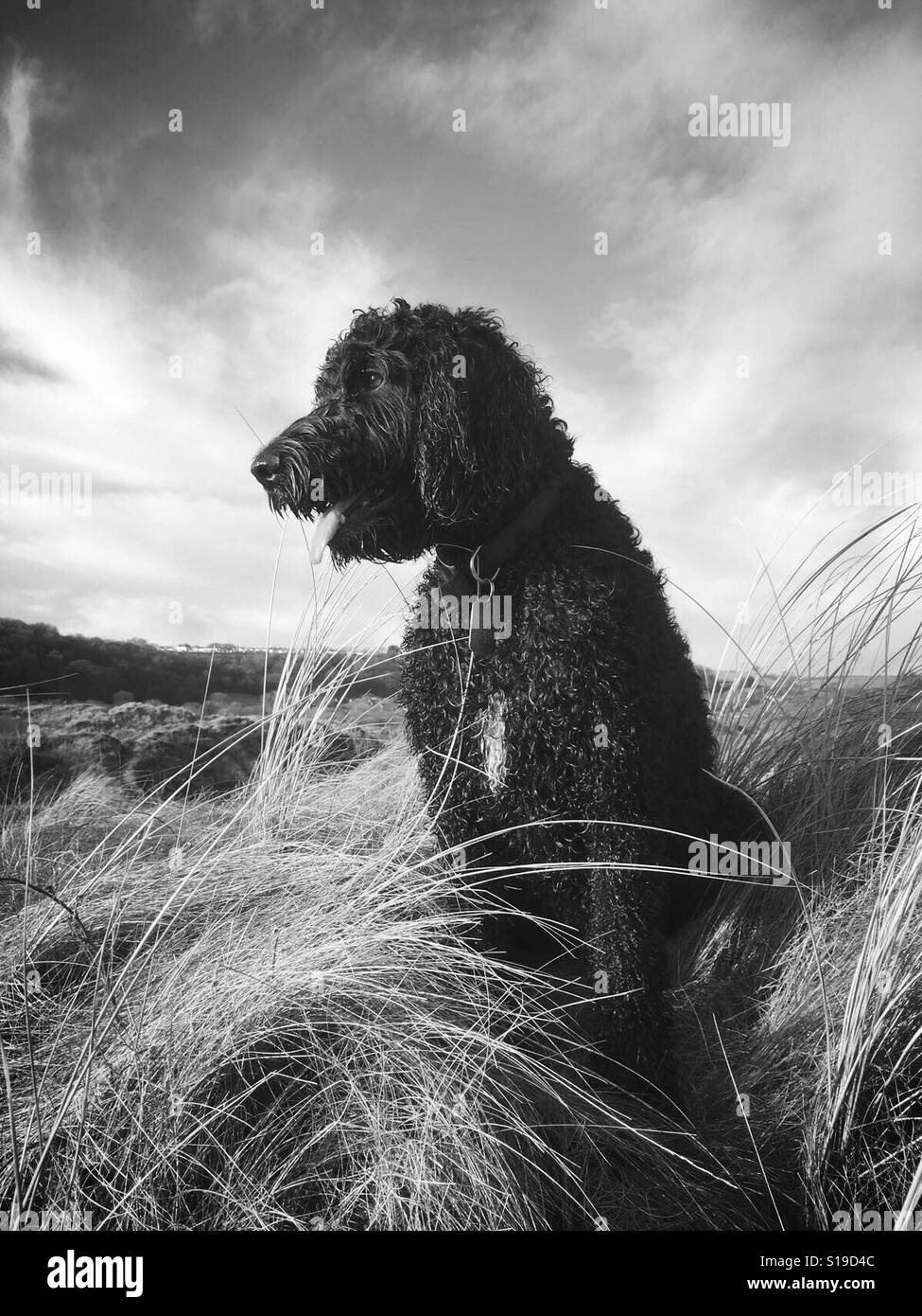 Winston the springerdoodle in oxwich, gower Stock Photo: 310609164