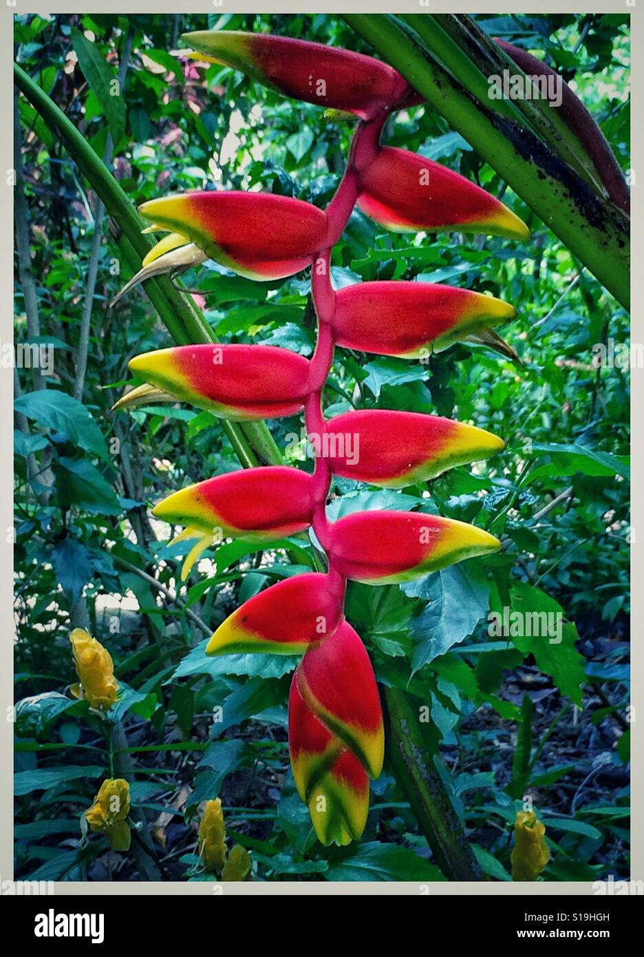 Tropical Heliconia plant with vibrant red and yellow blooms against green leaf background, Heliconia rostrata - Stock Image