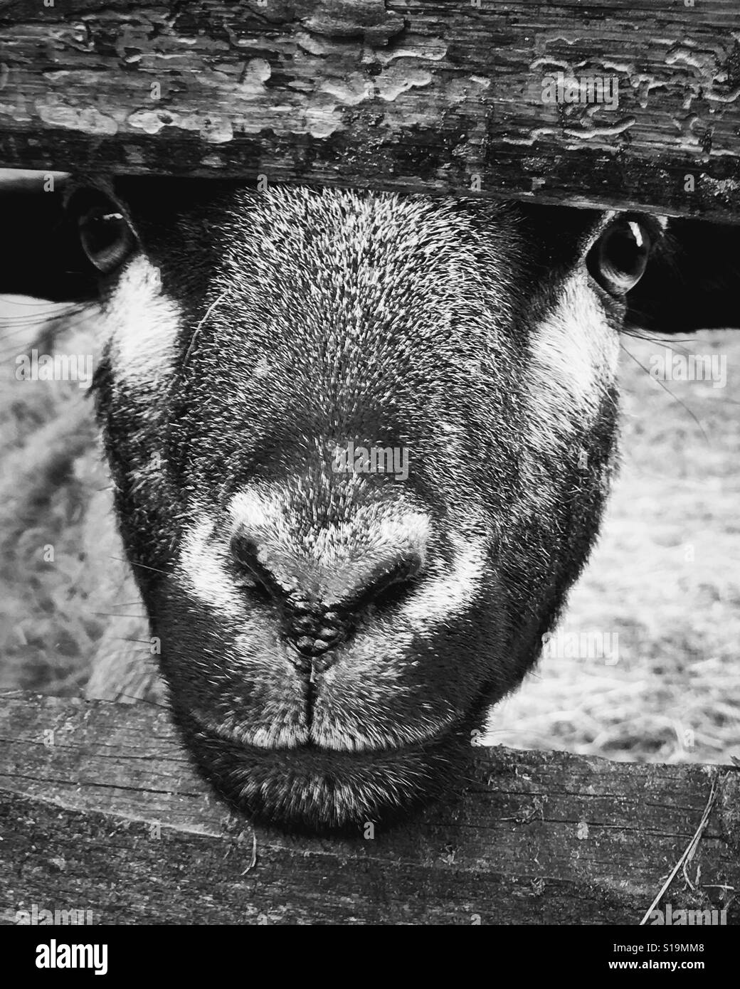 Goat face looking straight at the camera with head between a fence in black and white - Stock Image