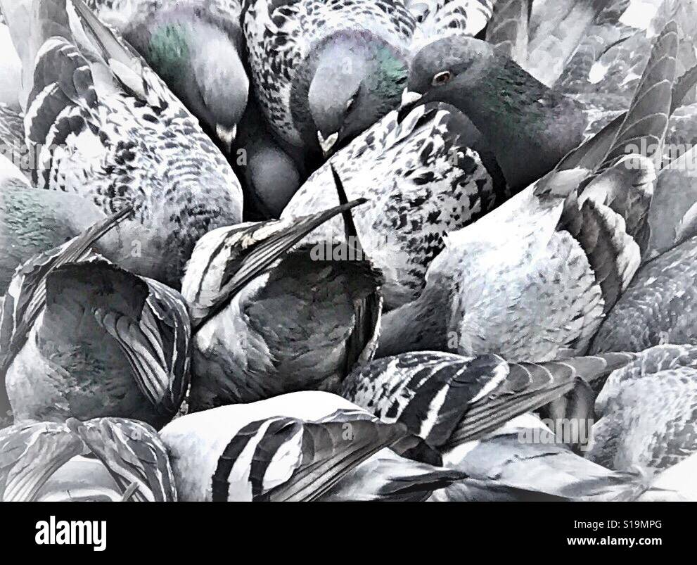 Birds of a feather flock together - Stock Image