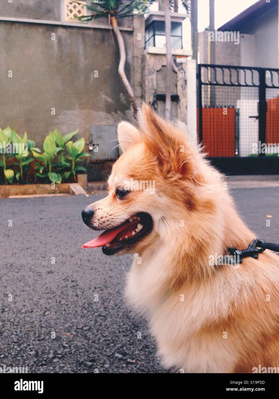 Chihuahua Long Hair - Stock Image