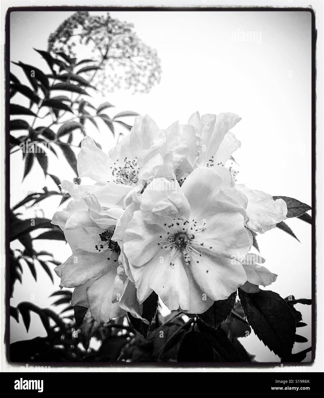 Black and white flowers - Stock Image