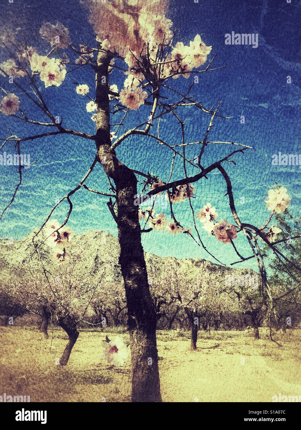 Almond blossom in the Jalon Valley, the first sign of Spring on the Costa Blanca, Spain - Stock Image