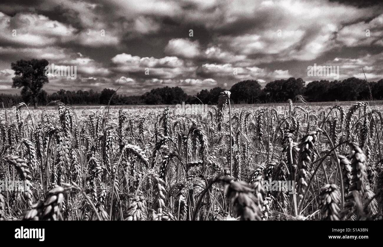 A black and white image of a wheat field close to harvest with a cloud-filled sky and trees in the distance, southern - Stock Image