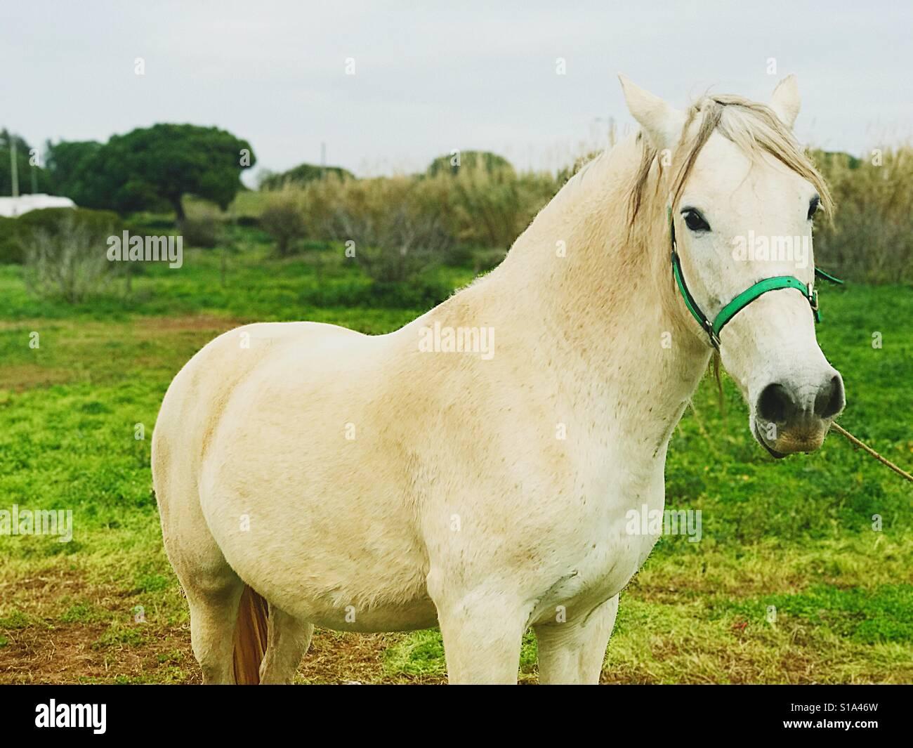 White horse Faro Algarve Portugal Stock Photo