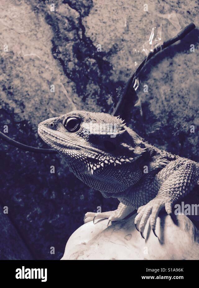 Lizard on a rock - Stock Image