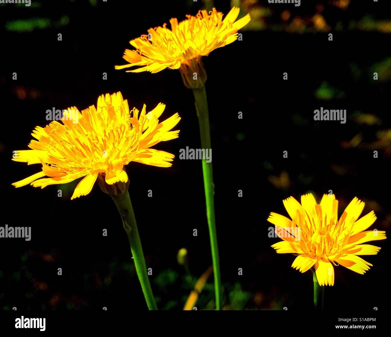 Three bright yellow dandelion flower heads shine at different heights against a dark background. - Stock Image