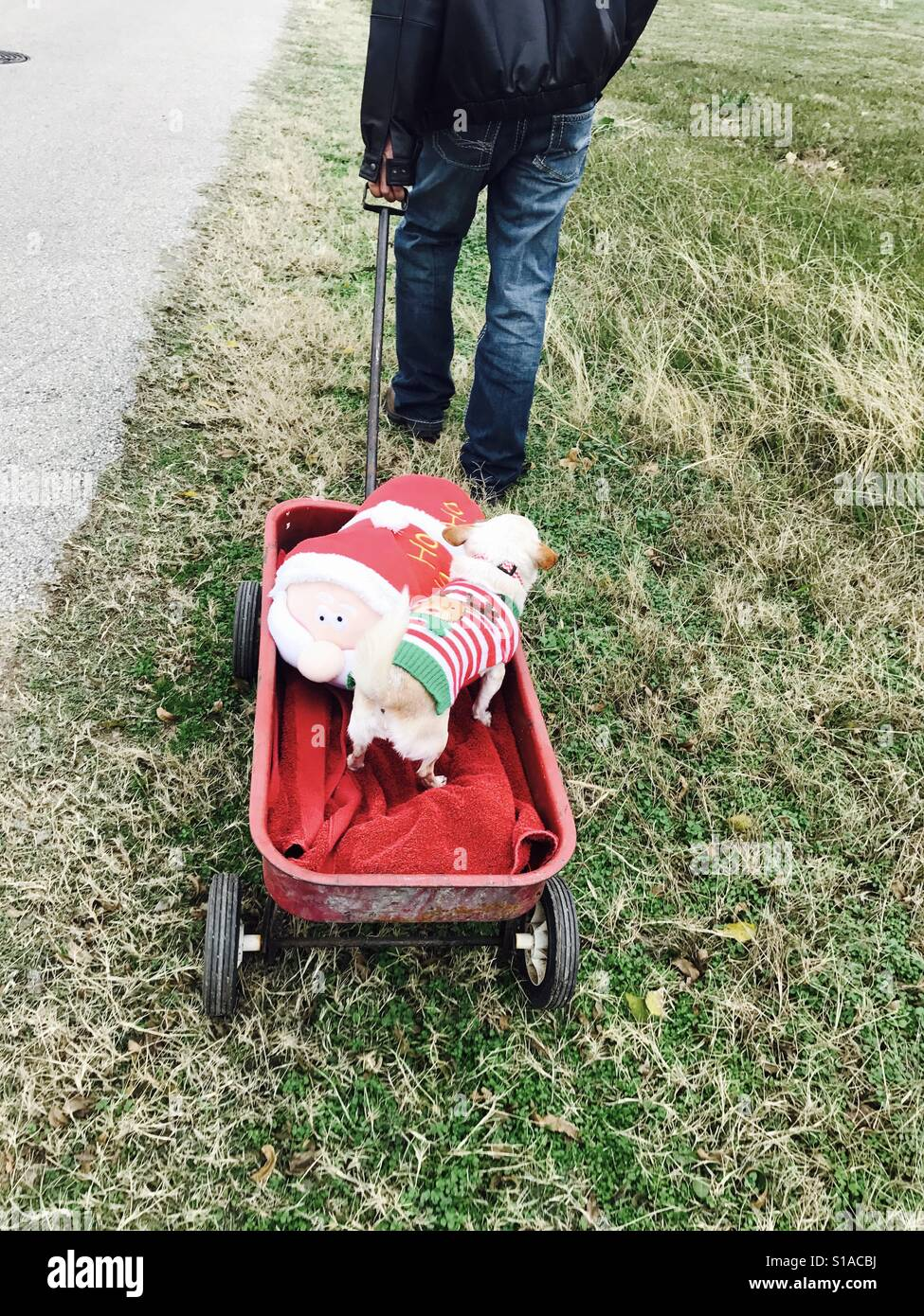 Wagon ride for a spoiled chihuahua that is too pampered to walk on the road or grass. - Stock Image