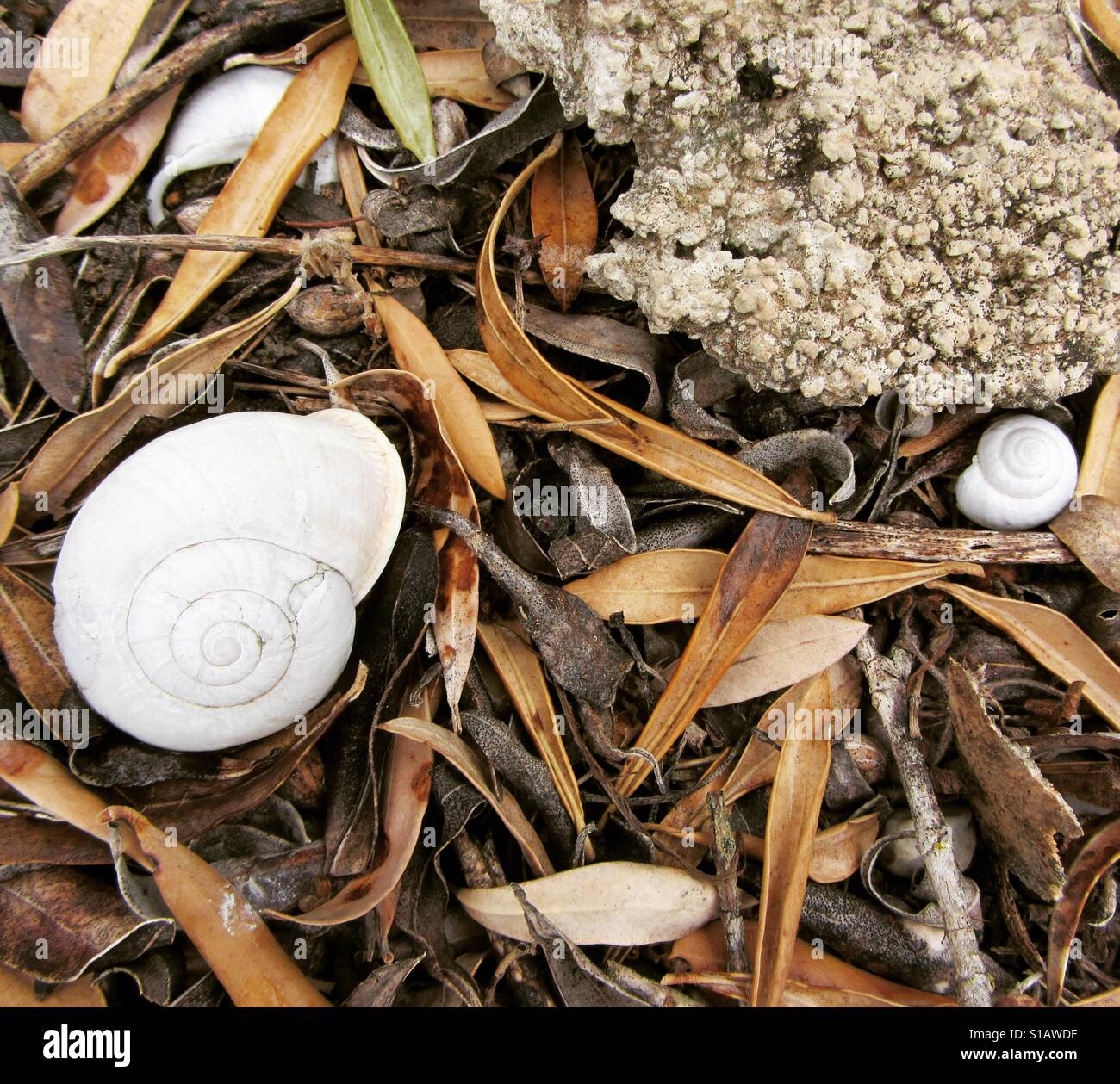 White shells amongst brown leaves - Stock Image