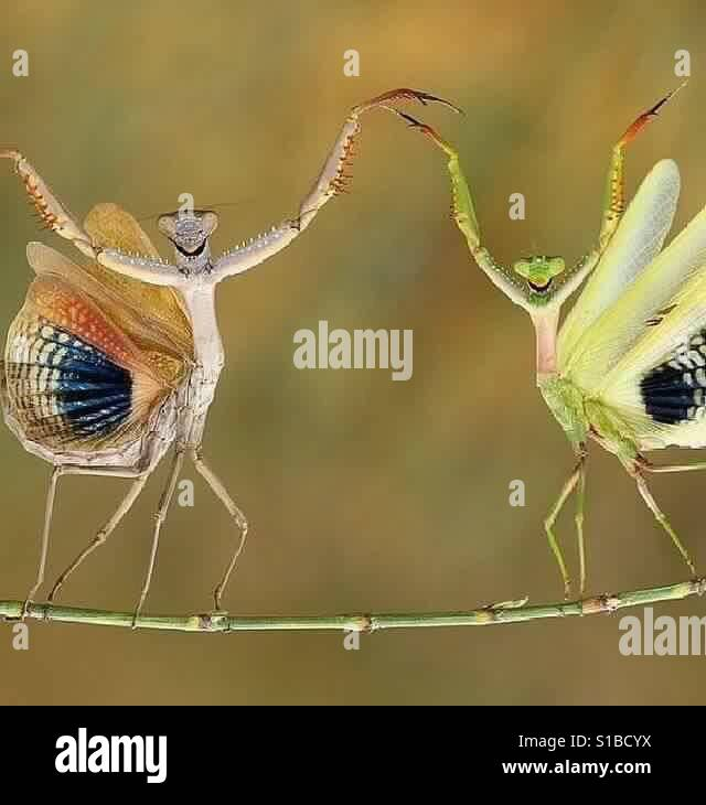 Pray Mantis, Insects Stock Photo