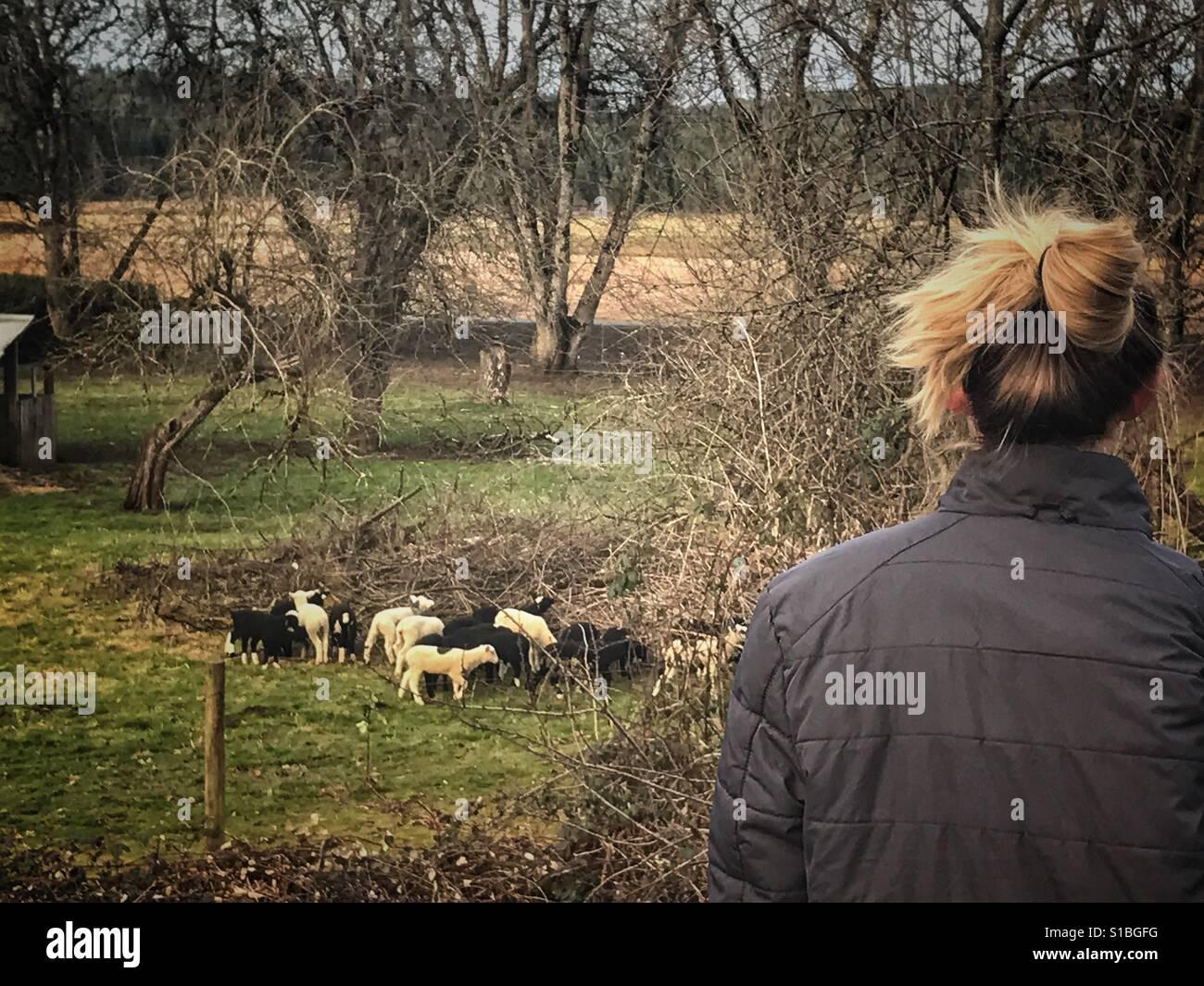 Lambs - Stock Image