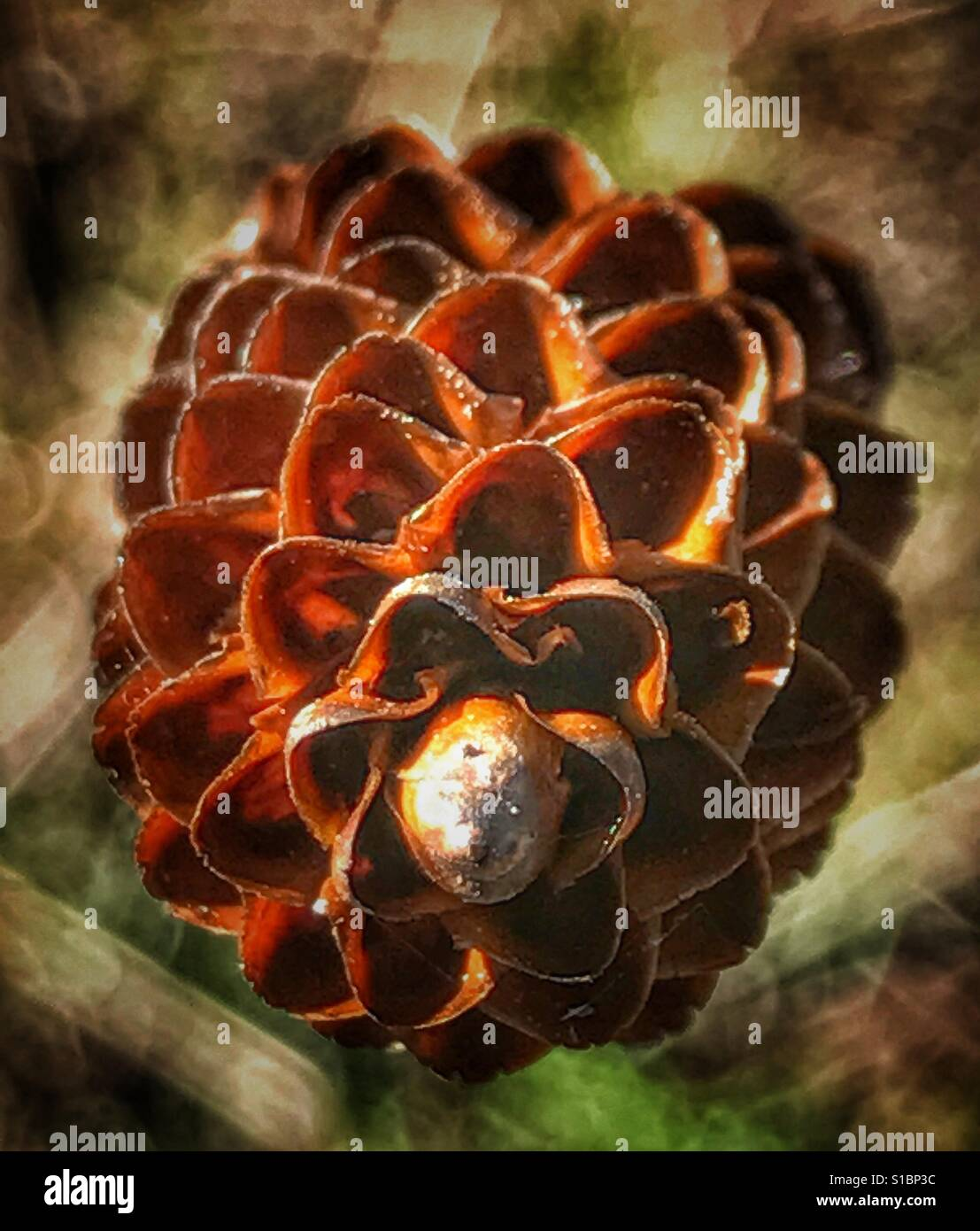 Dried flower head like a tiny pine cone, Yellow Eyed Grass close up, Xyris elliotti - Stock Image