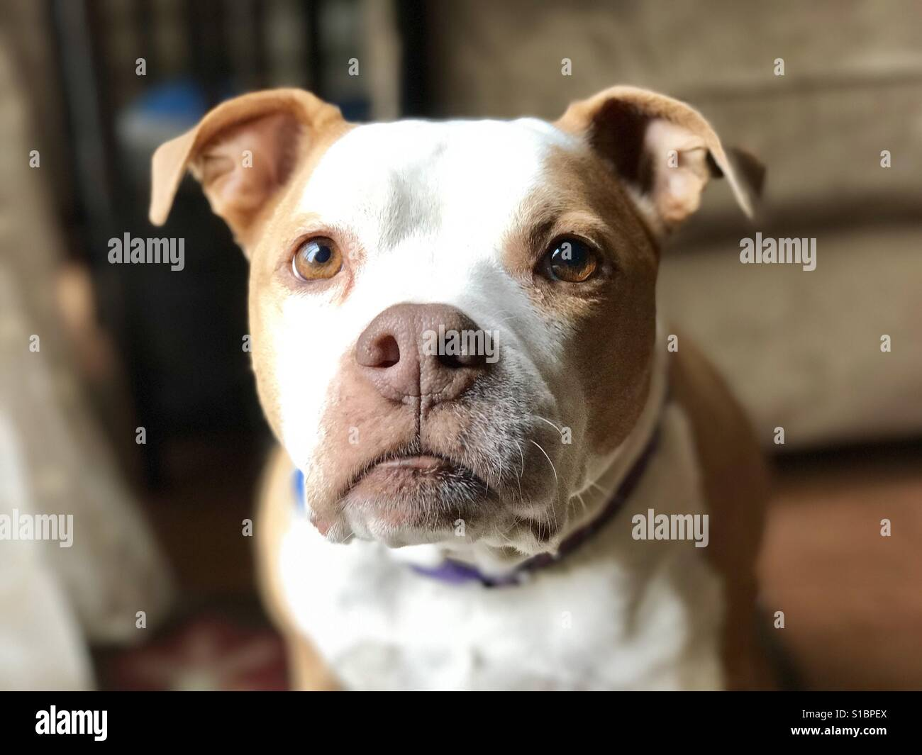 Female red and white pitbull - Stock Image