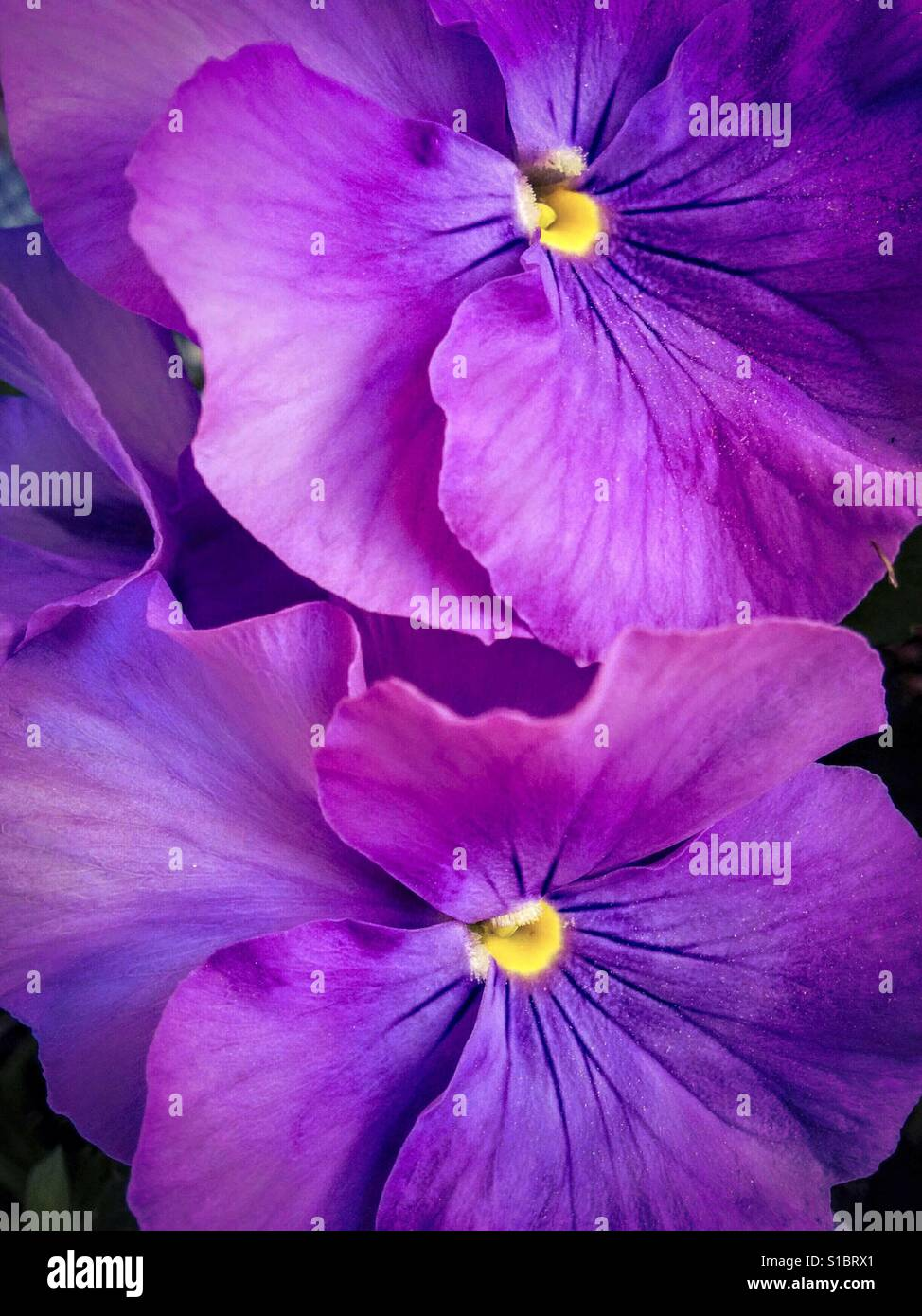 Pansy flowers. - Stock Image