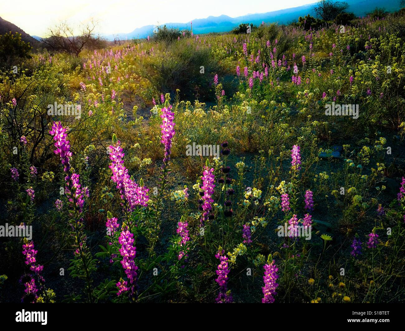 March 18, 2017 A superbloom of wildflowers after winter rains at Joshua Tree National Park in Southern California, - Stock Image