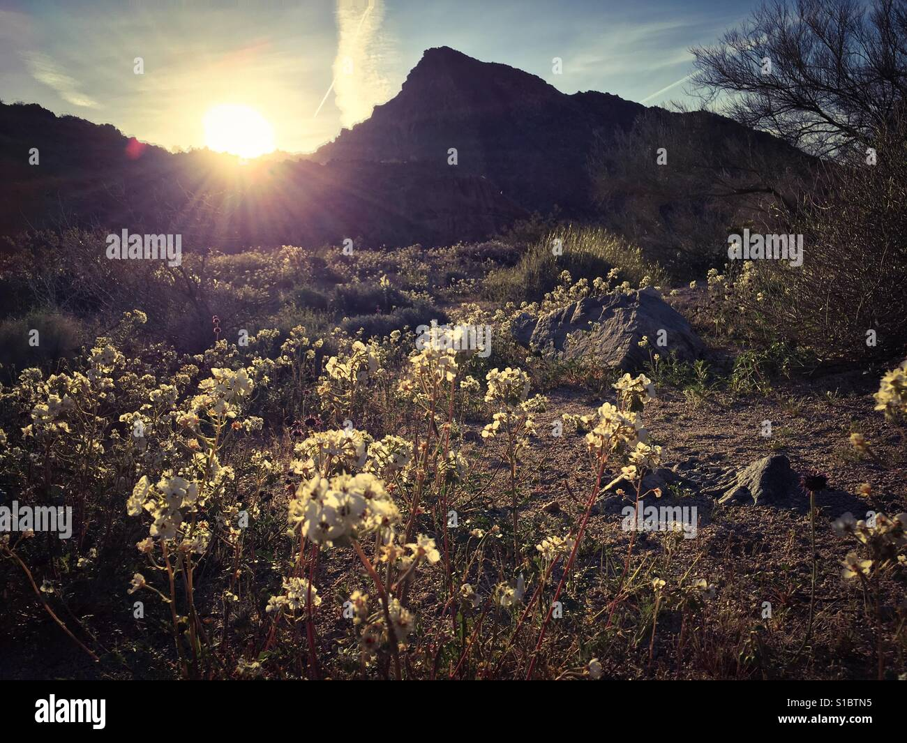 March 18, 2017 A superbloom of wildflowers at sunrise after a rainy winter at Joshua Tree National Park, Southern - Stock Image