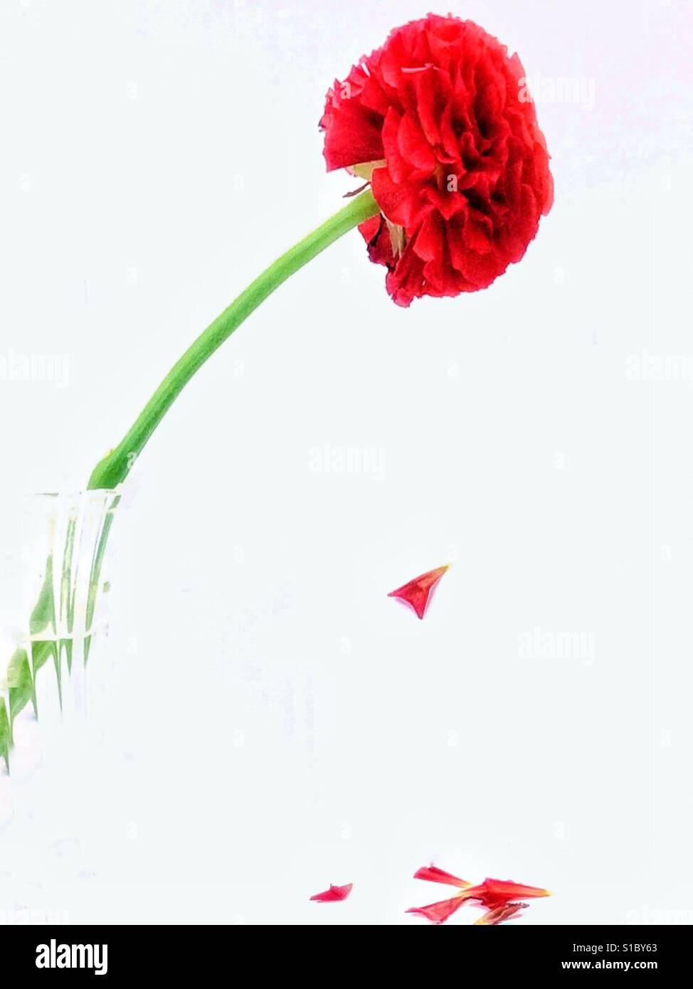 Cut flower, falling petals - Stock Image