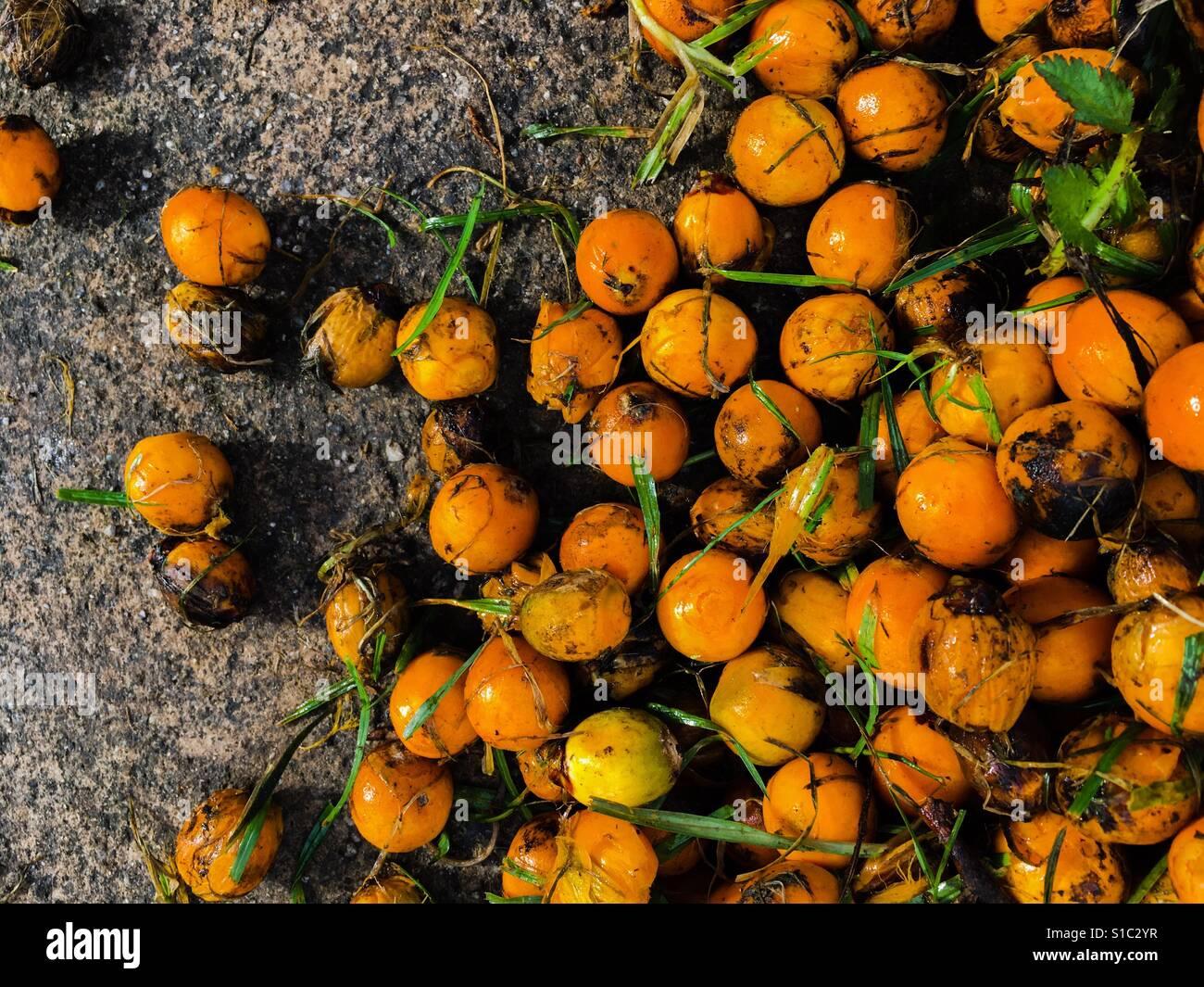 Vibrant orange yellow palm tree fruit close up against wet earthy pavement - Stock Image