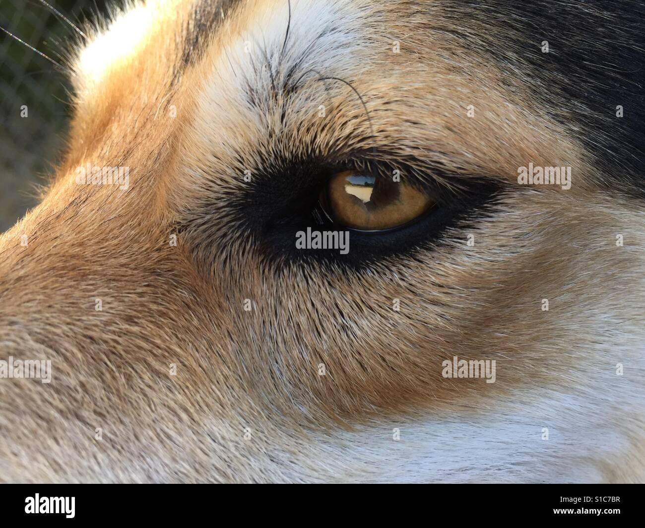 Lovely german shepherd dog pet eye closer - Stock Image