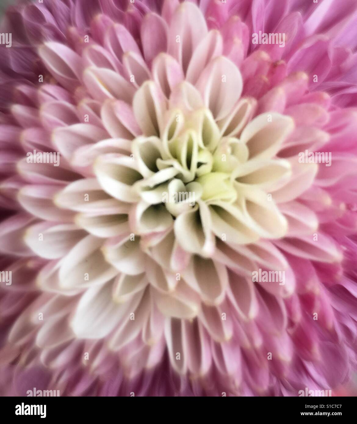 a3fb0c216fc Lavender and off white bachelor button Stock Photo  310670535 - Alamy