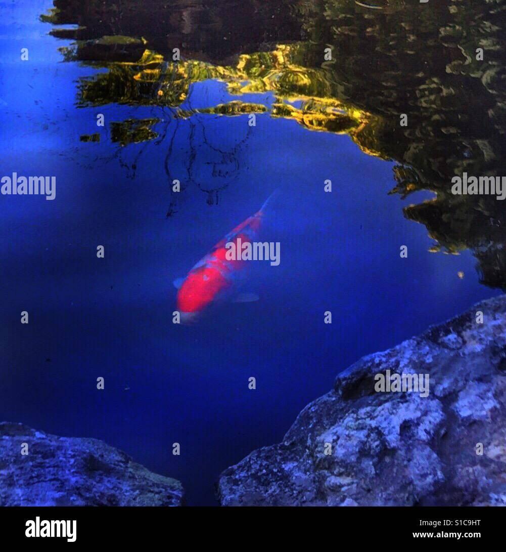 Twilight In Koi Pond >> Nishikigoi Koi Fish Pond At Twilight Stock Photo 310672260 Alamy