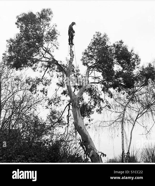 Man balancing on top of a tree as he fells it - Stock Image