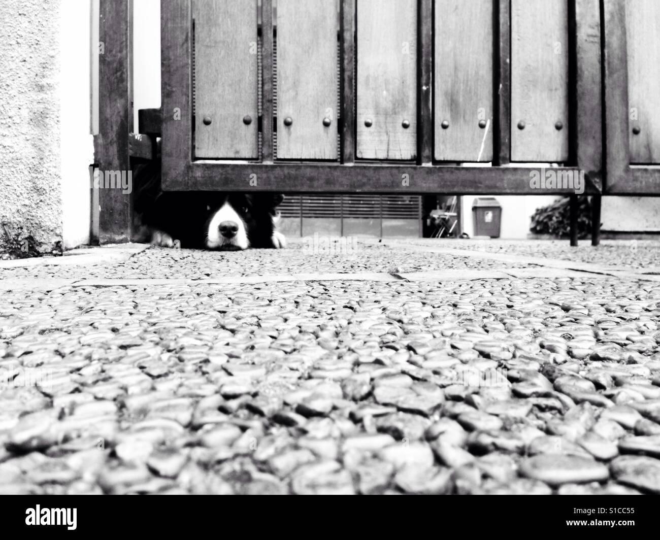 Dog Peek Outside from Under Fence Garage - Stock Image