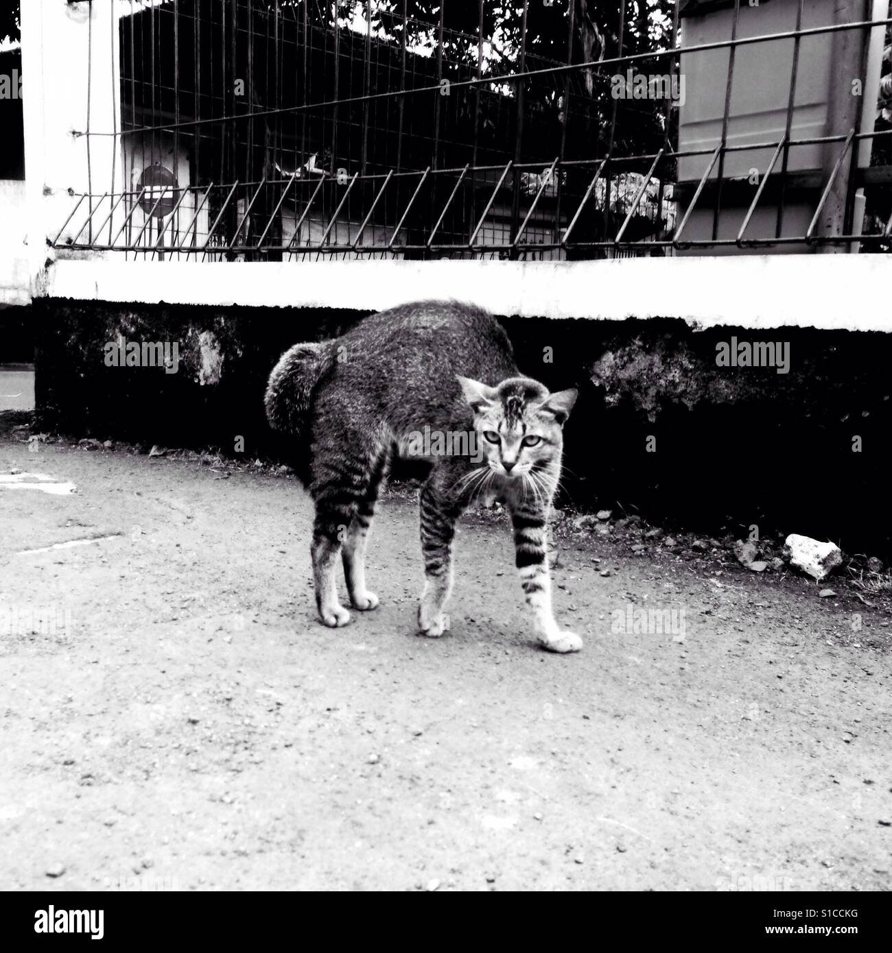 Angry Wild Cat on the Street - Black and White - Stock Image