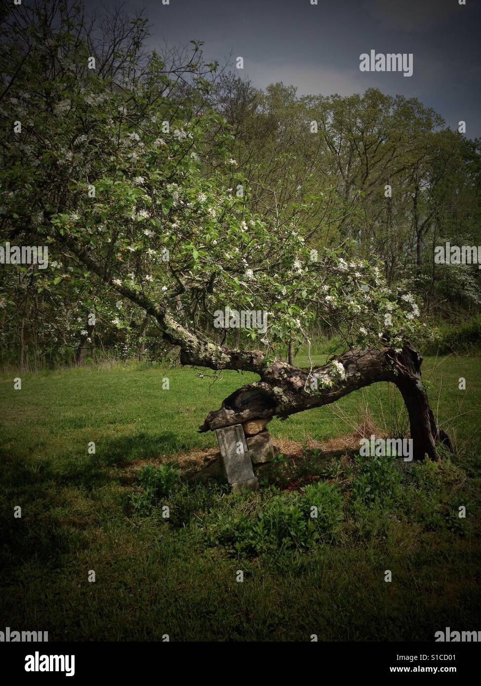 Apple tree resting on bricks. - Stock Image