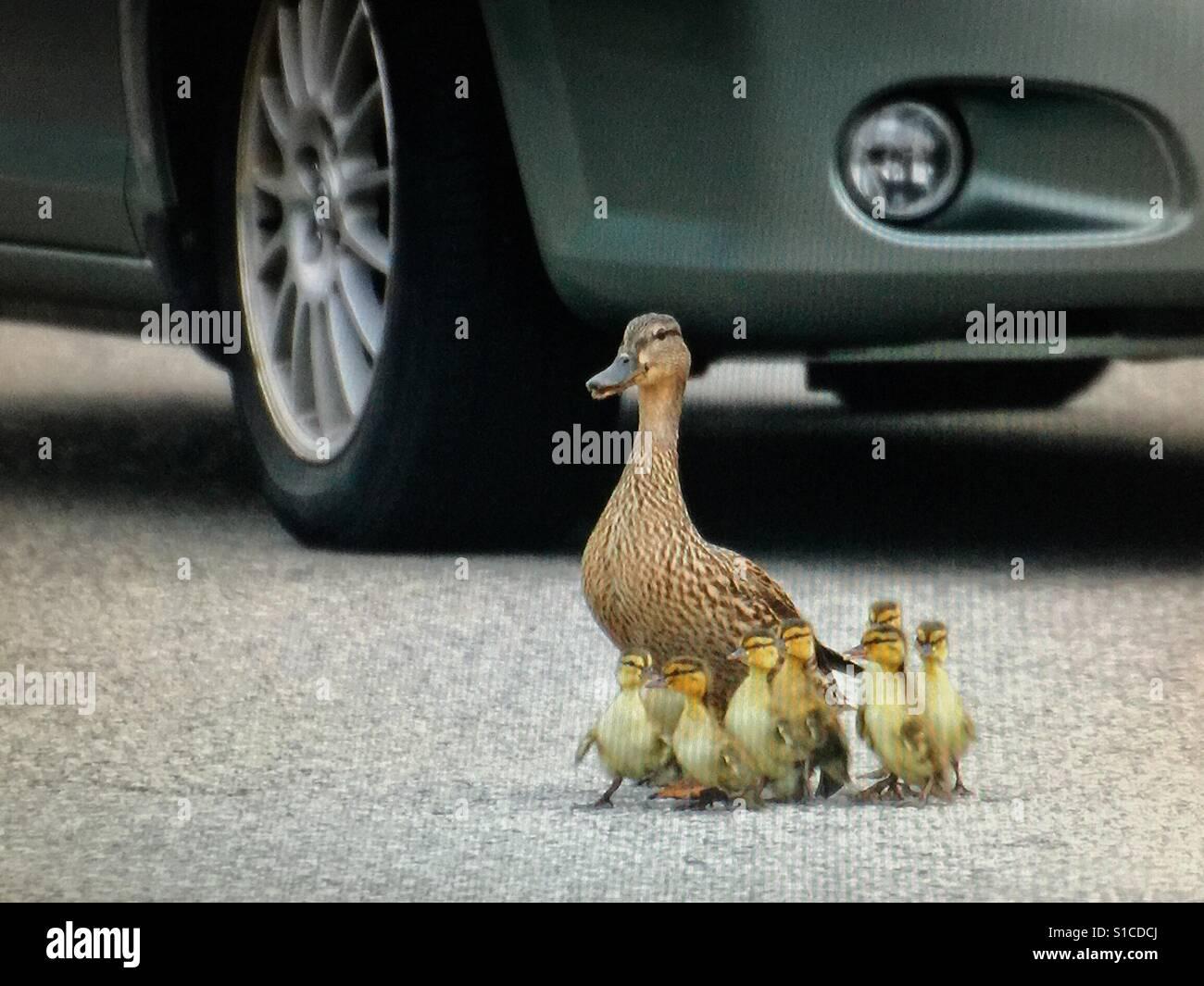 Mallard duck family crossing a busy street - Stock Image