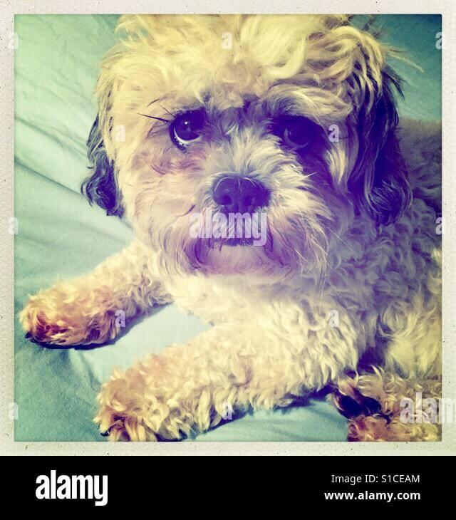 Fluffy dog sitting on bed - Stock Image
