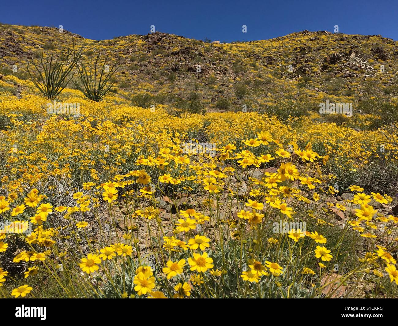 Wildflower 'super bloom' after rare winter rains at Joshua Tree National Park in Southern California. 2nd - Stock Image