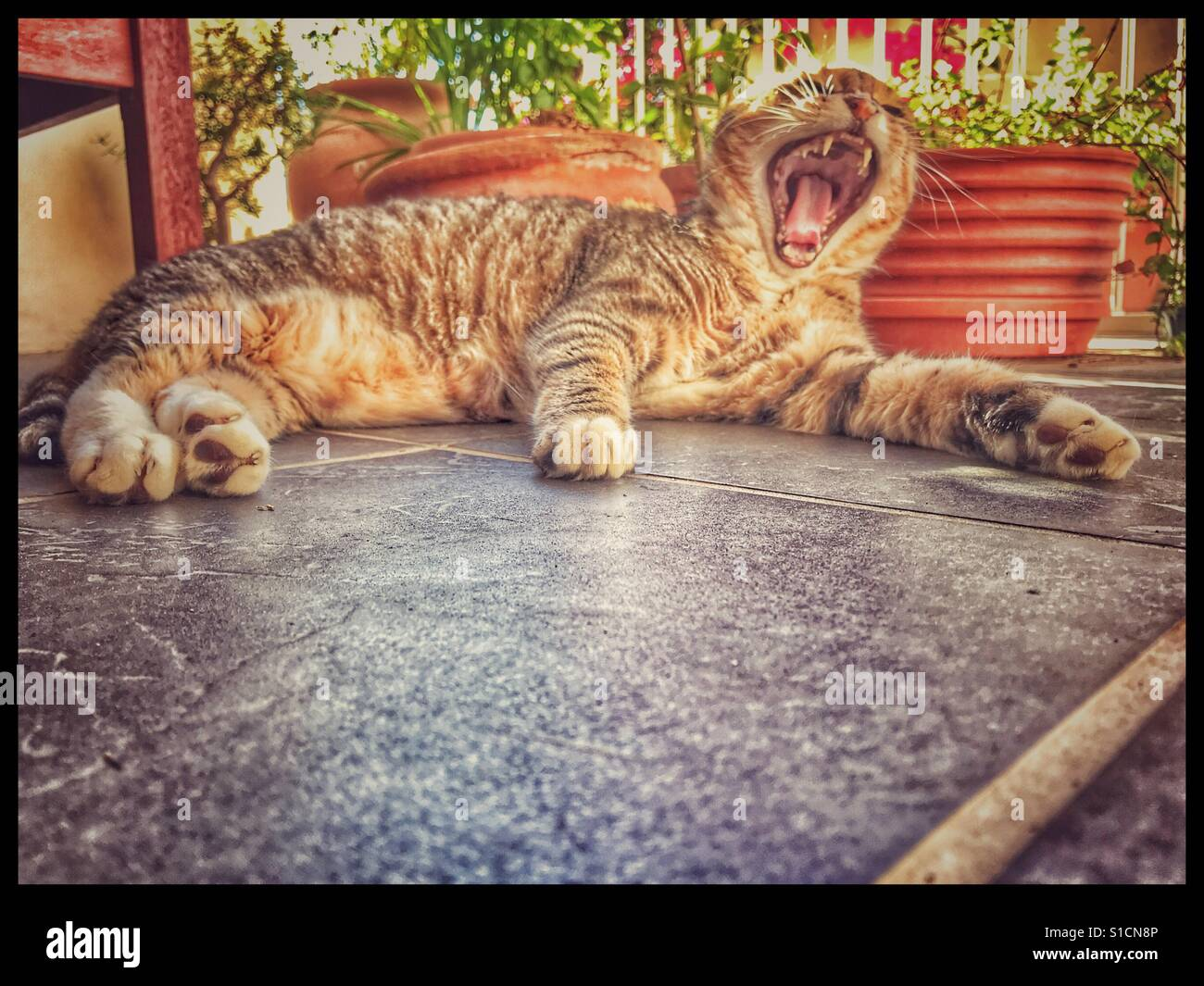 Yawning cat. - Stock Image