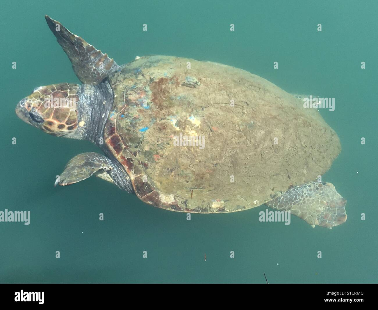 Turtle swimming in a murky sea - Stock Image