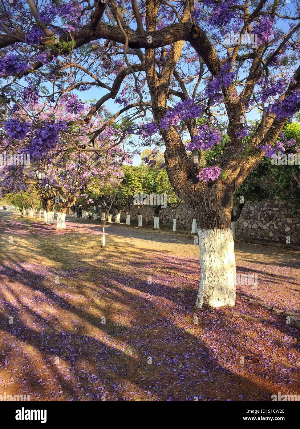 Morning sunlight filters through the purple blossom filled branches of Jacaranda trees lining the streets in Ajijic Stock Photo