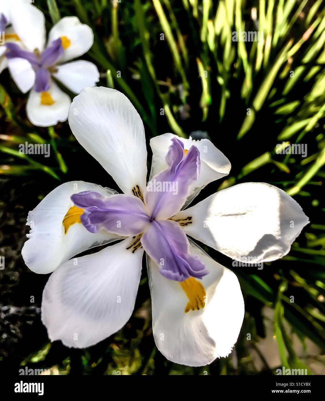 Iris Flower Garden Sunlight Stock Photos Iris Flower Garden