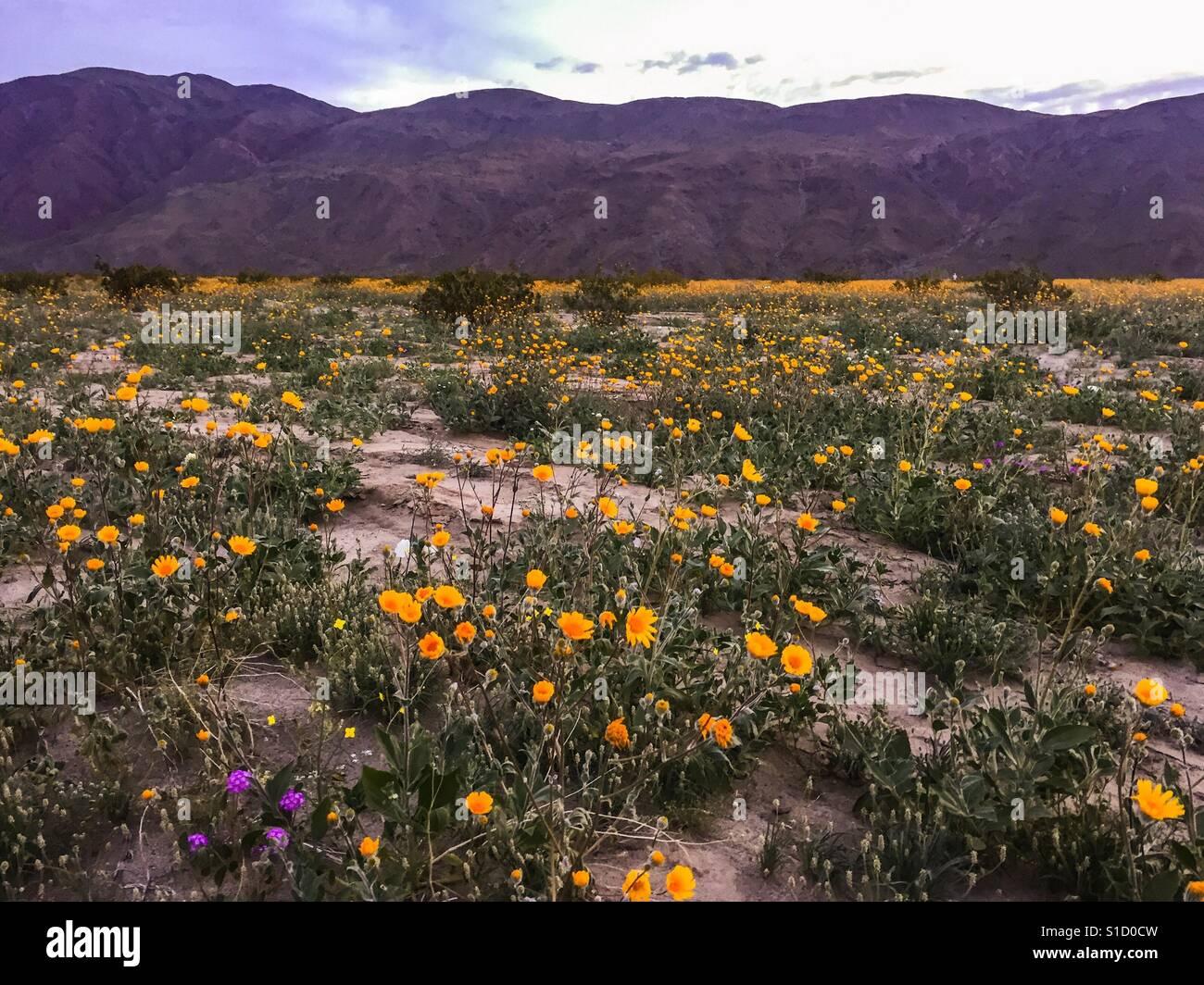 Desert flower bloom, Anza Borrego, CA - Stock Image