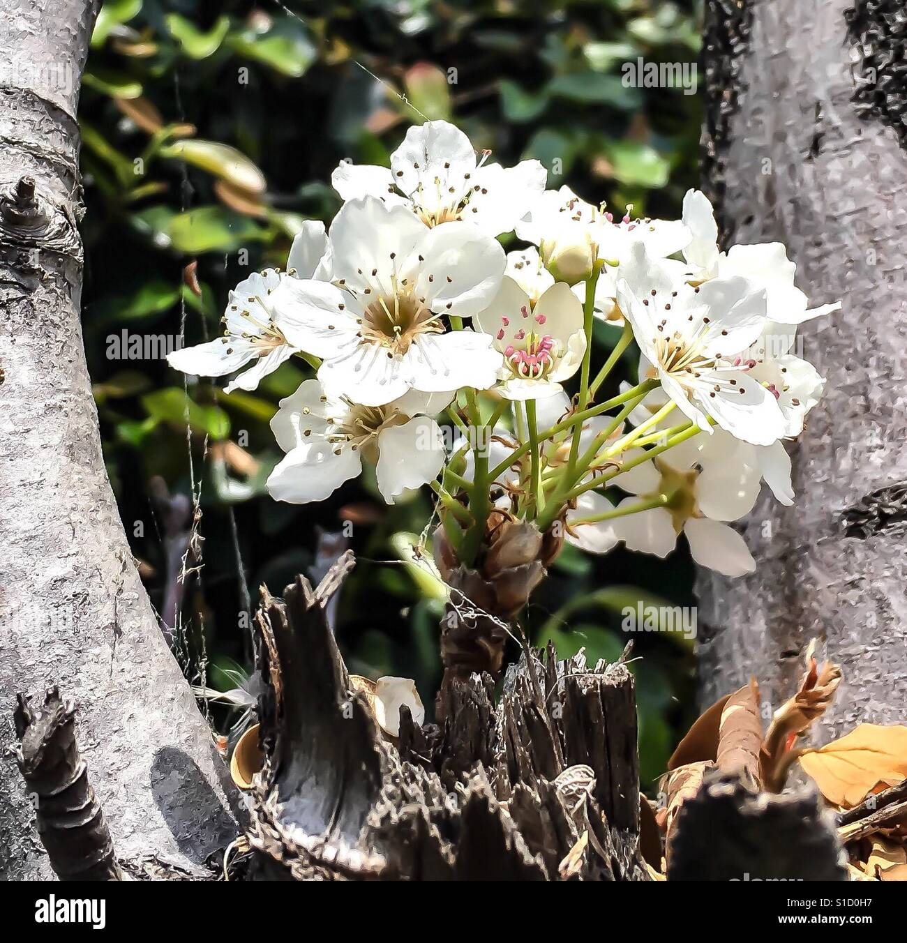 White flower blossoms on pear tree in spring sunlight closeup stock white flower blossoms on pear tree in spring sunlight closeup mightylinksfo