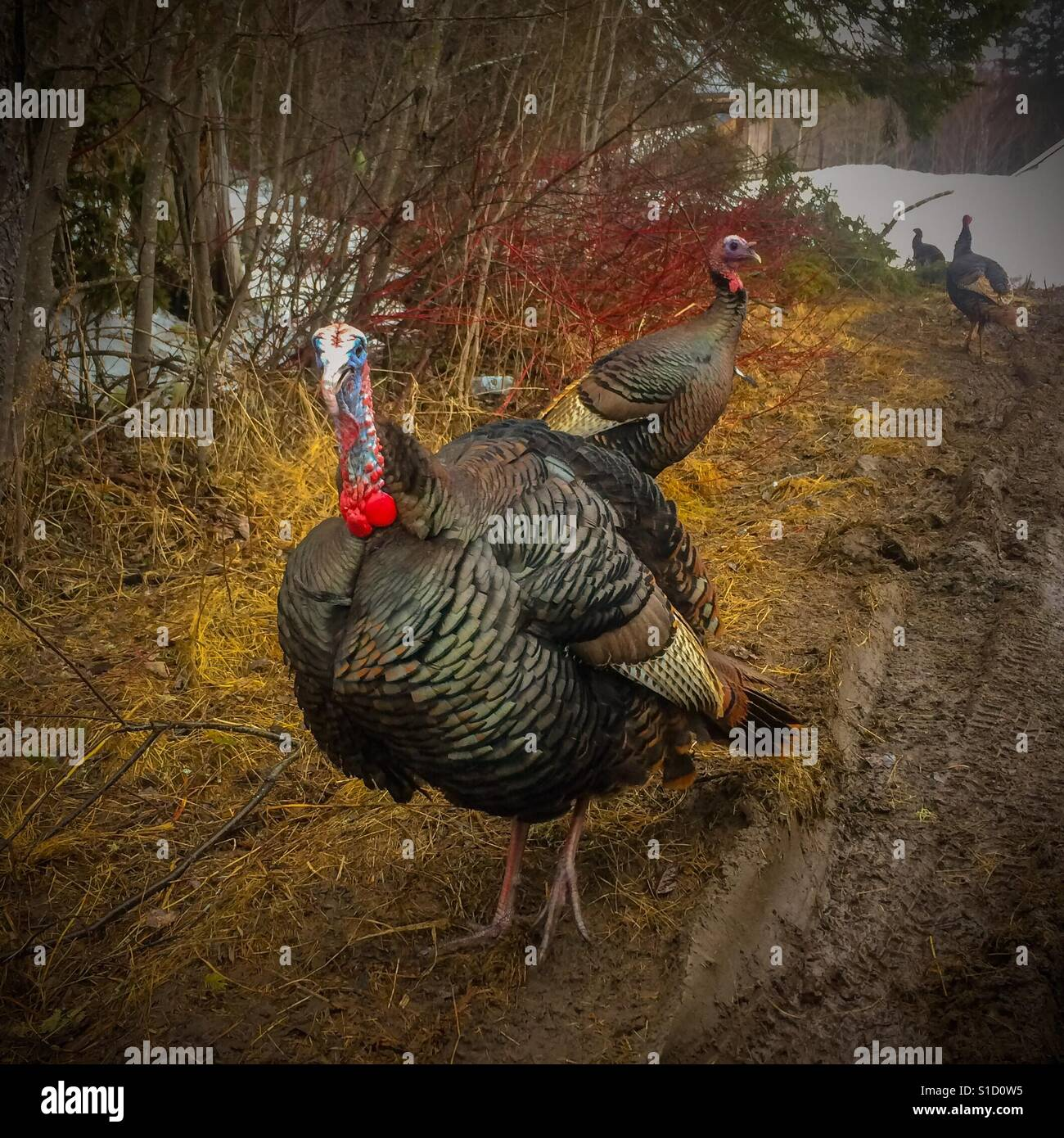 Tom turkey and his hens - Stock Image
