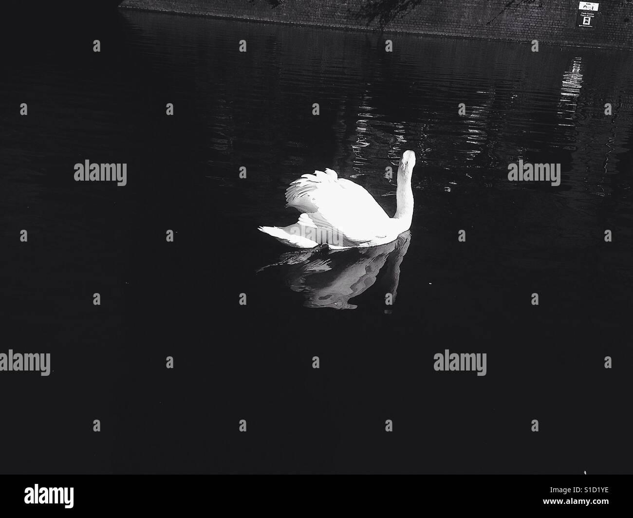 Wandering Swan - Stock Image